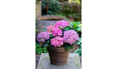 BCM Hortensie »Renate Steiniger«, Höhe: 30 - 40 cm, 1 Pflanze kaufen