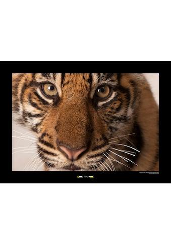 Komar Poster »Sumatran Tiger Portrait«, Tiere, Höhe: 30cm kaufen