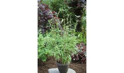 Bambus »Rufa«, Höhe: 80 - 100 cm, 1 Pflanze kaufen