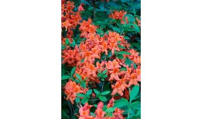 BCM Rhododendron »Parkfeuer«, Höhe: 15 cm, 3 Pflanzen kaufen