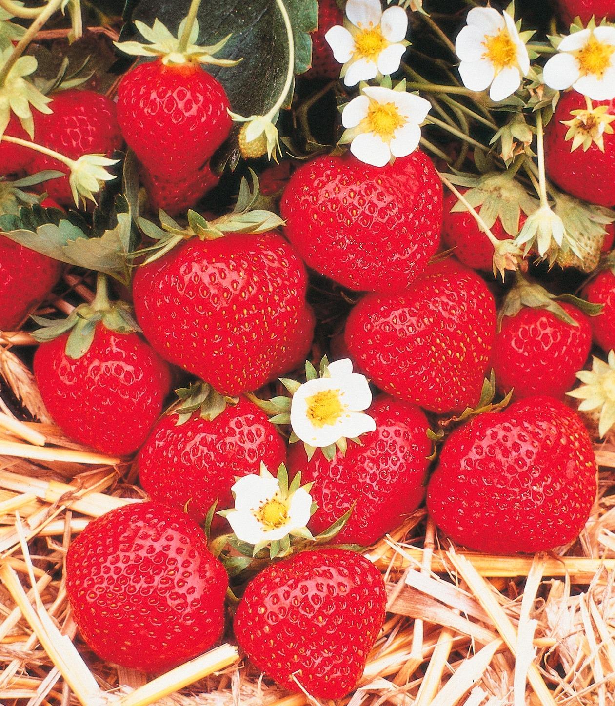 Erdbeere »Korona«