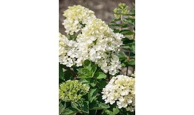 BCM Hortensie »Bombshell«, Höhe: 50 - 60 cm, 1 Pflanze kaufen