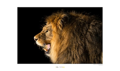 Komar Poster »Barbary Lion«, Tiere, Höhe: 30cm kaufen