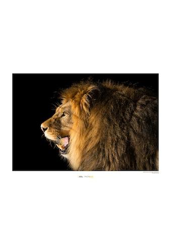 Komar Poster »Barbary Lion«, Tiere, Höhe: 30cm kaufen