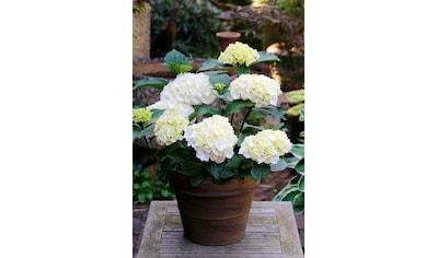 BCM Gehölze »Hortensie Nymphe«, Höhe: 30-40 cm, 1 Pflanze kaufen