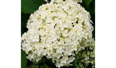 BCM Hortensie »Strong Annabell«, Höhe: 50 - 60 cm, 1 Pflanze kaufen