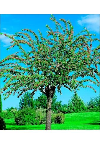 """BCM Obstbaum """"Süßkirsche Große schwarze Knorpel Kirsche"""" kaufen"""