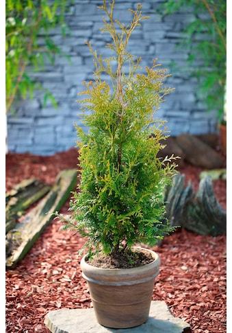 BCM Hecken »Lebensbaum Brabant«, Höhe: 60-80 cm, 5 Pflanzen kaufen