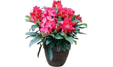 BCM Gehölze »Rhododendron Junifeuer«, Höhe: 50 cm, 1 Pflanze kaufen
