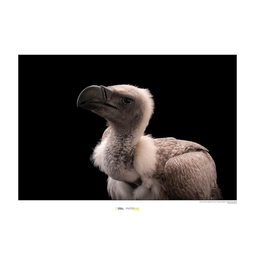 KOMAR Wanddekoration »African White-backed Vulture«