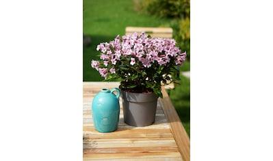 BCM Gehölze »Weigela 'Pink Poppet' ®«, Lieferhöhe: ca. 40 cm, 1 Pflanze kaufen