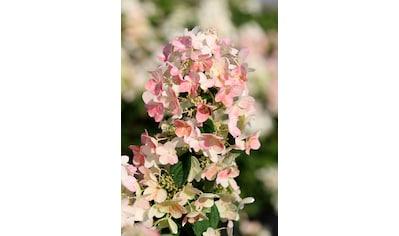BCM Hortensie »Magical Candy«, Höhe: 50 - 60 cm, 1 Pflanze kaufen