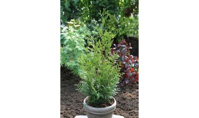 Hecke »Lebensbaum Gelderland«, Höhe: 15 cm, 10 Pflanzen kaufen