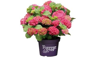 BCM Gehölze »Hortensie Forever and Ever Red«, Höhe: 30-40 cm, 2 Pflanze kaufen