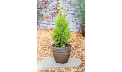 Hecke »Lebensbaum Smaragd«, Höhe: 60 - 80 cm, 3 Pflanzen kaufen