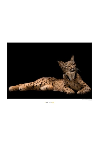 Komar Poster »Iberian Lynx«, Tiere, Höhe: 40cm kaufen