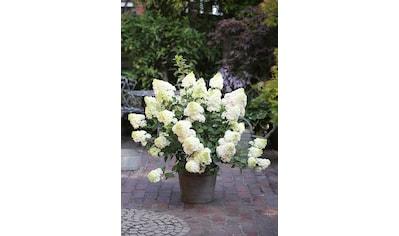 BCM Gehölze »Hortensie Sundae Fraise«, Höhe: 50-60 cm, 2 Pflanze kaufen