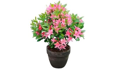 BCM Rhododendron »Jolie Madame«, Höhe: 15 cm, 3 Pflanzen kaufen