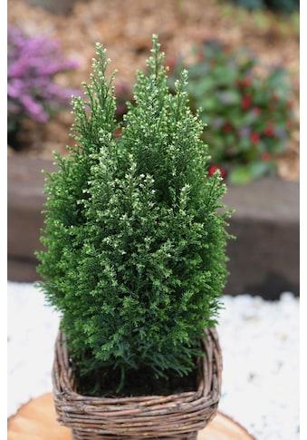 BCM Hecken »Scheinzypresse Snow White«, Höhe: 20-25 cm, 3 Pflanzen kaufen