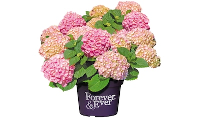 BCM Hortensie »Forever and Ever Pink«, Höhe: 30 - 40 cm, 1 Pflanze kaufen