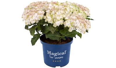 BCM Hortensie »Magical Jade«, Höhe: 30 - 40 cm, 1 Pflanze kaufen