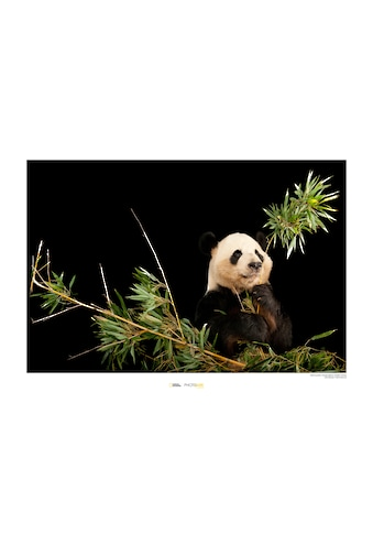 Komar Poster »Giant Panda«, Tiere, Höhe: 40cm kaufen