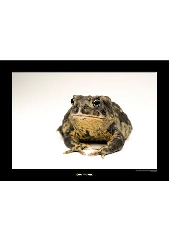 Komar Poster »Wyoming Toad«, Tiere, Höhe: 50cm kaufen