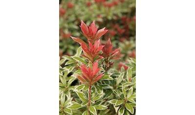 BCM Gehölze »Pieris japonica Passion«, Lieferhöhe: ca. 20 cm, 1 Pflanze kaufen