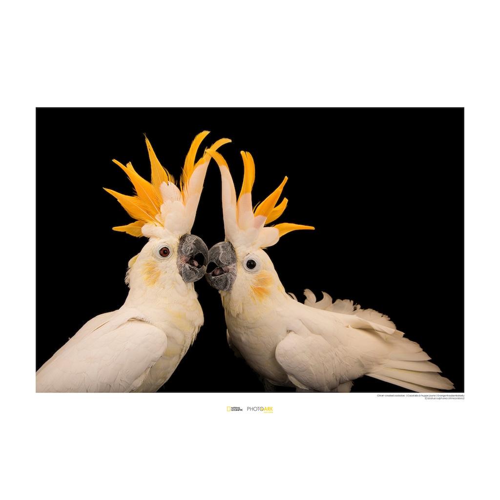 KOMAR Wanddekoration »Citron-crested Cockatoo«