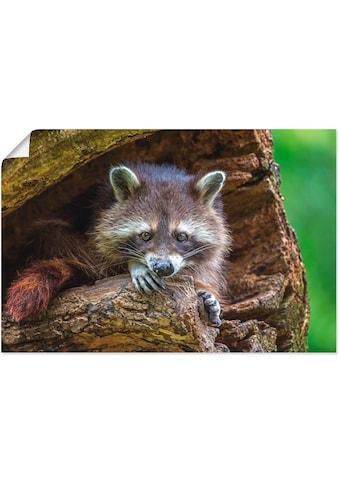 Artland Wandbild »Waschbär«, Wildtiere, (1 St.), in vielen Größen & Produktarten -... kaufen