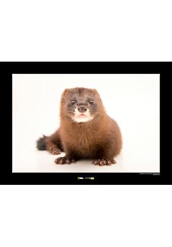 Komar Poster »European Mink«, Tiere, Höhe: 50cm kaufen