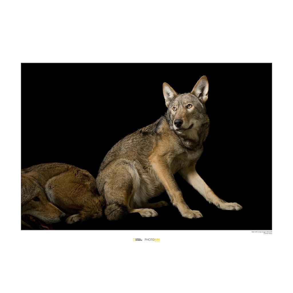 KOMAR Wanddekoration »Red Wolf«