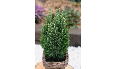 Hecke »Scheinzypresse Snow White«, Höhe: 15 - 20 cm, 3 Pflanzen kaufen