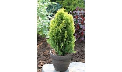 Hecke »Lebensbaum Aurea Nana«, Höhe: 15 cm, 10 Pflanzen kaufen