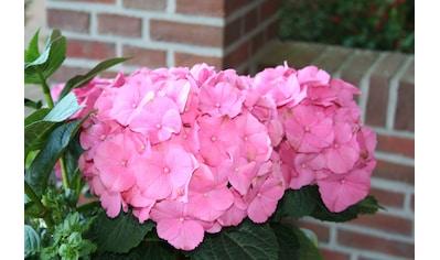 BCM Hortensie »Rosita«, Höhe: 30 - 40 cm, 1 Pflanze kaufen