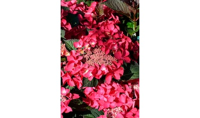 BCM Hortensie »Kardinal«, Höhe: 30 - 40 cm, 1 Pflanze kaufen