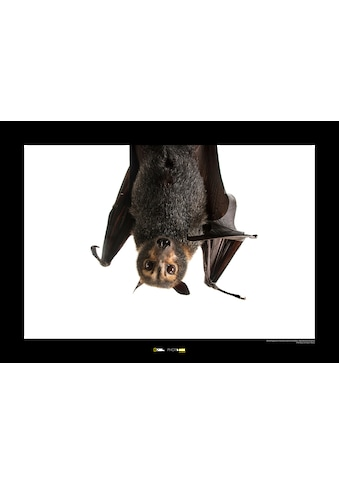 Komar Poster »Spectacled Flying Fox«, Tiere, Höhe: 30cm kaufen