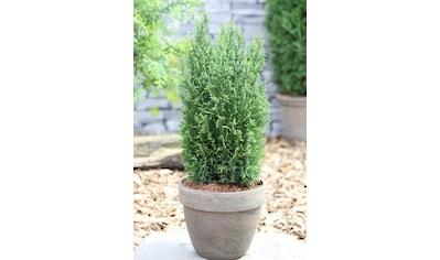 Hecke »Scheinzypresse Ellwoodii«, Höhe: 25 - 30 cm, 3 Pflanzen kaufen