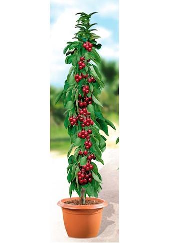 BCM Obstpflanze »Säulenobst Kirsche Helene« kaufen