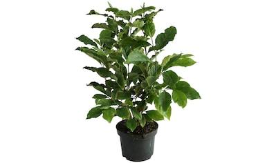 BCM Gehölze »Magnolie 'Black Beauty'«, Lieferhöhe ca. 100 cm, 1 Pflanze kaufen