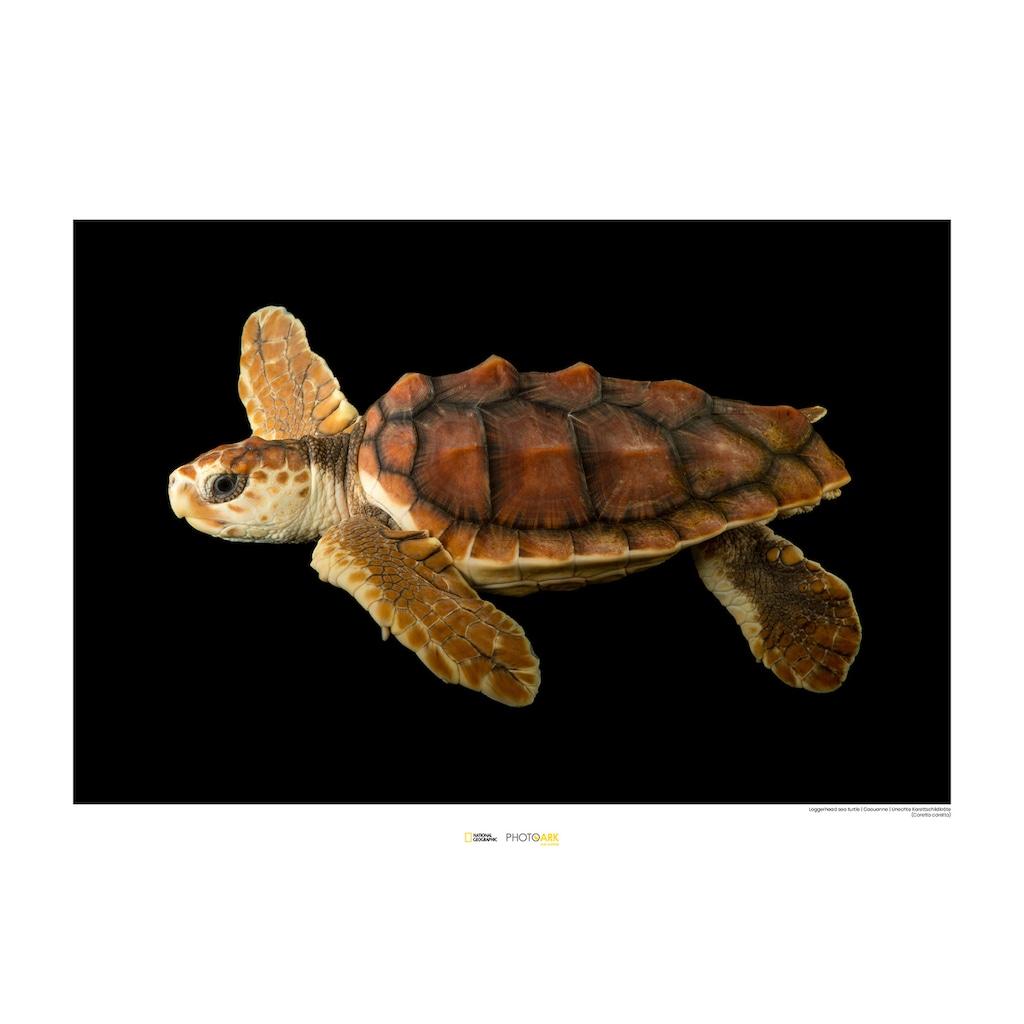 Komar Poster »Loggerhead Sea Turtle«, Tiere, Höhe: 30cm