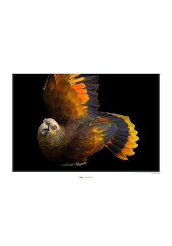 Komar Poster »St. Vincent Parrot«, Tiere, Höhe: 40cm kaufen