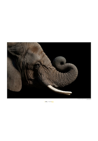 Komar Poster »African Elephant«, Tiere, Höhe: 50cm kaufen