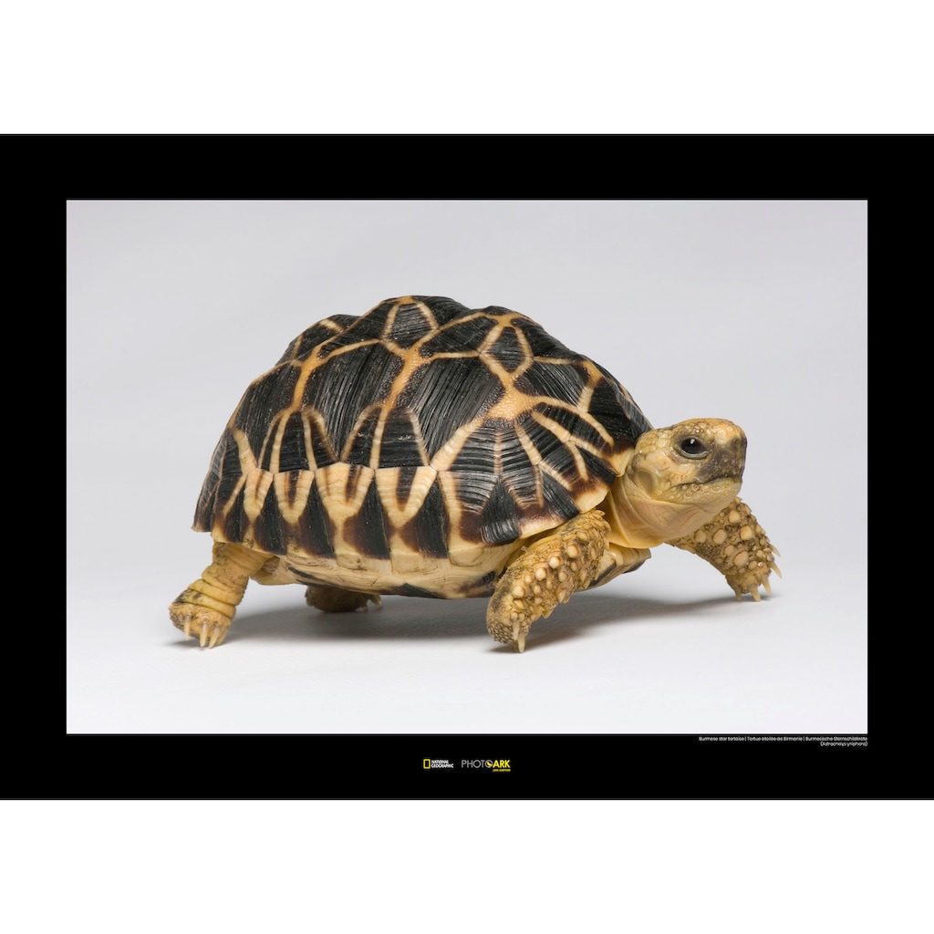 KOMAR Wanddekoration »Burmese Star Tortoise«