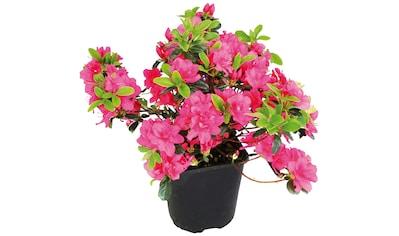 BCM Gehölze »Rhododendron Japanische Azalee Maruschka«, Höhe: 25 cm, 3 Pflanze kaufen