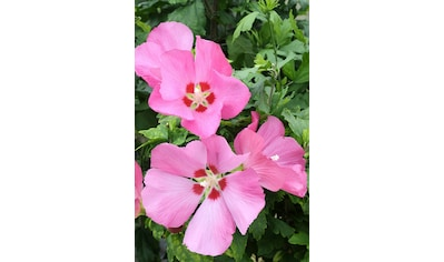 BCM Hibiscus »Woodbridge«, Höhe: 80 cm, 1 Pflanze kaufen