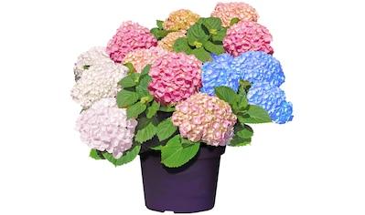 BCM Gehölze »Hortensie Forever & Ever«, (Set), 3-farbig kaufen