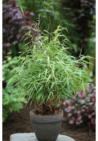 BCM Hecken »Asian Wonder Bambus«, Höhe: 60-80 cm, 2 Pflanzen kaufen