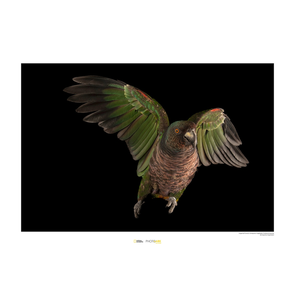 KOMAR Wanddekoration »Imperial Parrot«