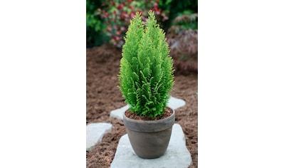 Hecke »Scheinzypresse Ellwood's Empire«, Höhe: 15 - 20 cm, 3 Pflanzen kaufen